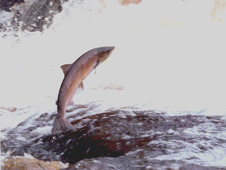 salmon fish 1024x768 for your Desktop