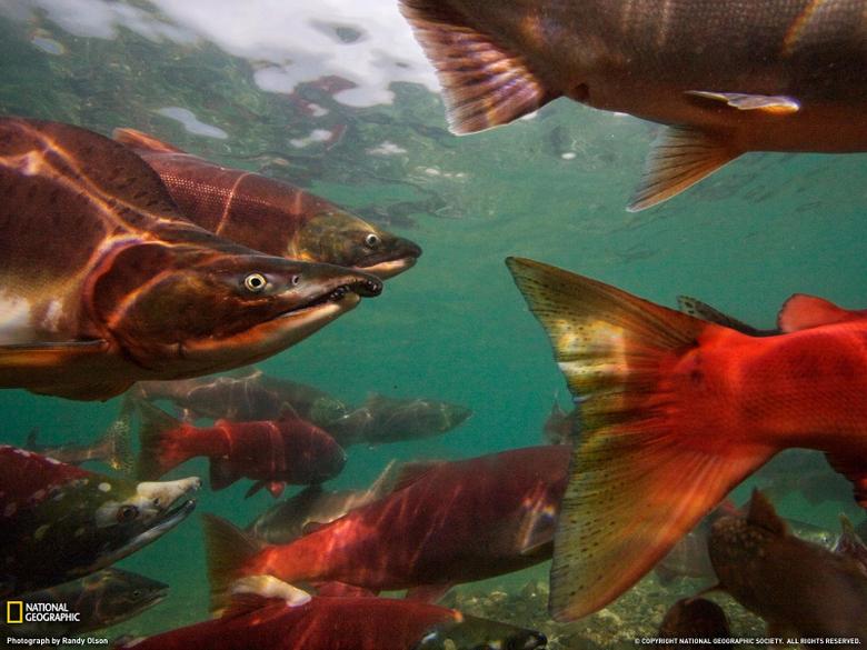 salmon Fish River Wallpapers HD Desktop and Mobile