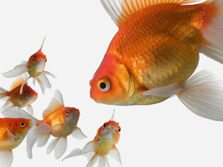 Wallpapers For Golden Fish Wallpapers