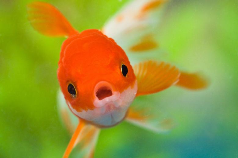 Goldfish HD Wallpapers