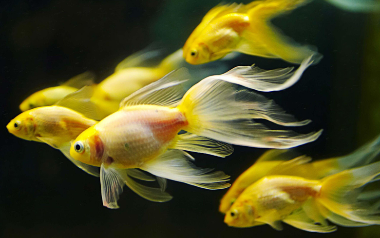 Colorful Goldfish Wallpapers