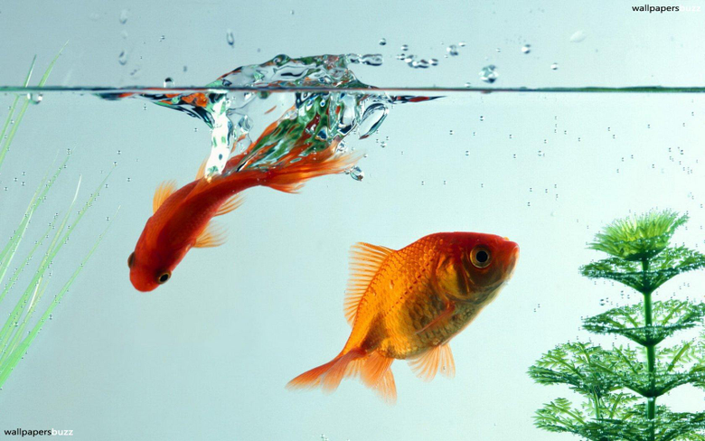 Two goldfish HD Wallpapers