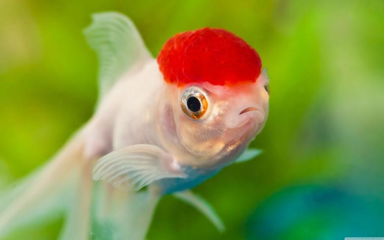 The Best Red Cap Oranda Goldfish Wallpapers