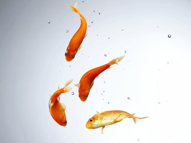 Goldfish Wallpapers 13
