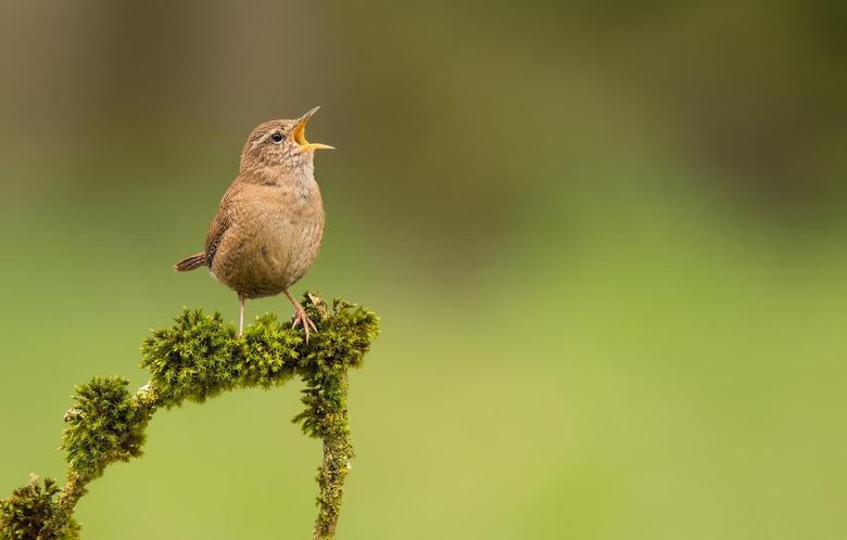 Wallpapers bird moss branch bird Wren image for desktop