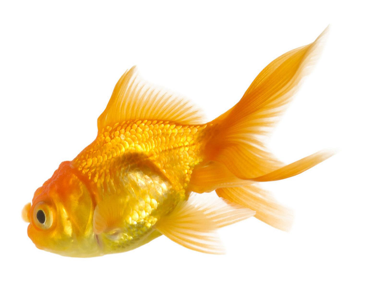 gold fish wallpapers