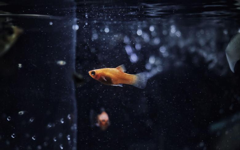 x1600 Goldfish 2560x1600 Resolution HD 4k Wallpapers Image