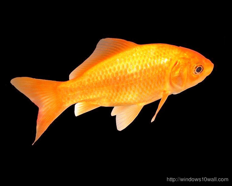 Beautiful Golden Goldfish Hd Wallpapers