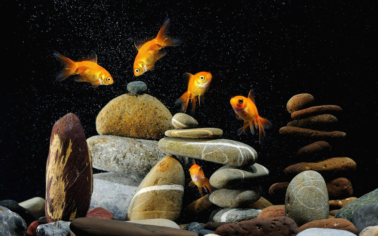 Gold Fish Wallpapers 2560x1600