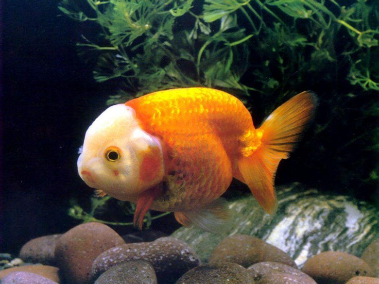 Goldfish Wallpapers HD WALLPAPERS