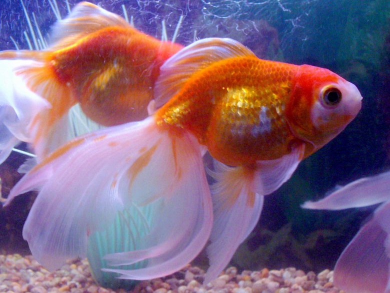 Arts and Image the best wallpapers you find here Goldfish Wallpapers