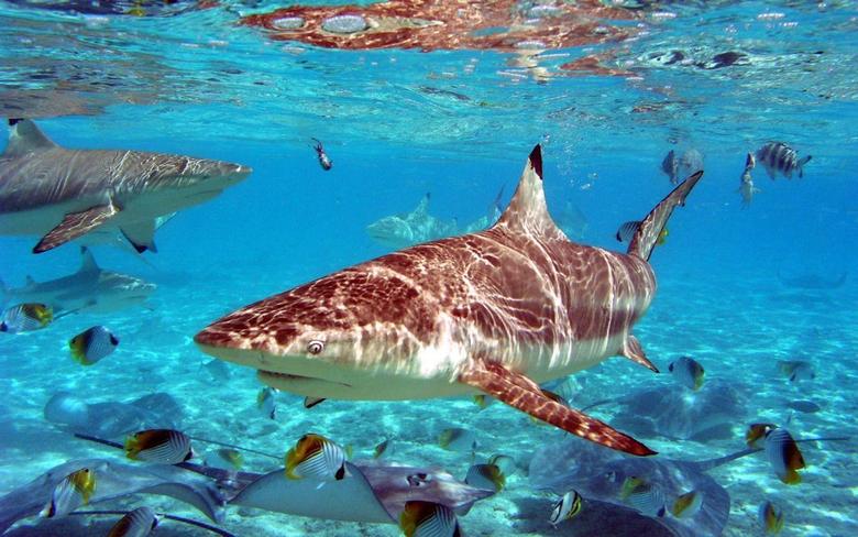 Shark Wallpapers 1006