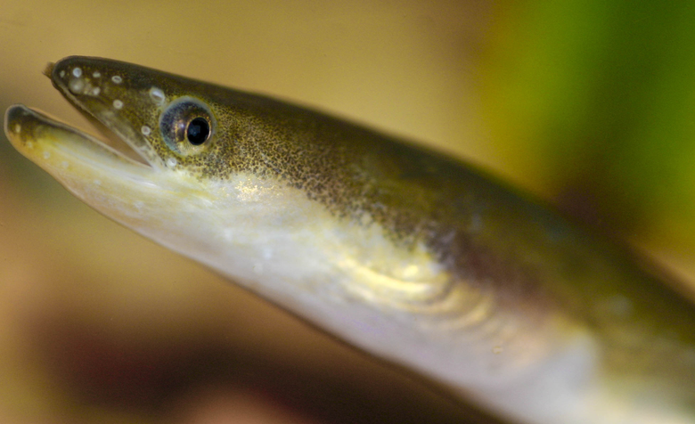 Japanese eel photo and wallpaper Cute Japanese eel pictures