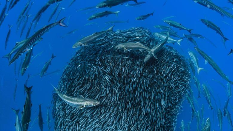 Bing image Mackerel forming a bait ball to avoid predators