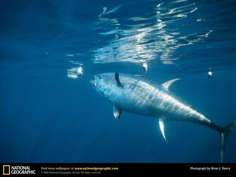 Bluefin Tuna Picture Bluefin Tuna Desktop Wallpaper