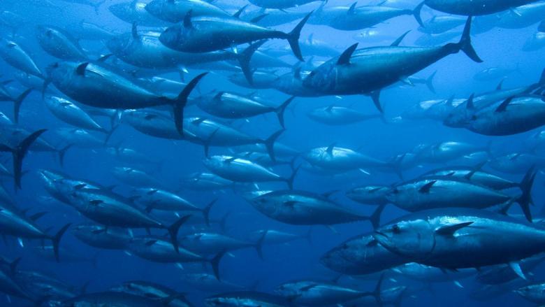 Tuna Tag wallpapers Underwater Fishes Tuna Sea Fish Ocean