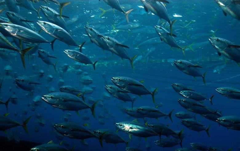 Tuna High Definition Wallpaper For Desktop Backgrounds