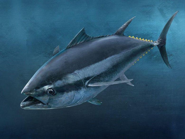 Tuna Fish Wallpapers