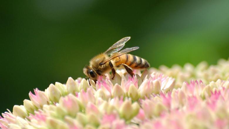 Bee Wallpapers Desktop 1895x1286 px