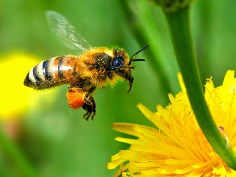 Honey Bee Wallpapers 9