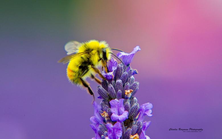 Honey Bee Wallpapers 12
