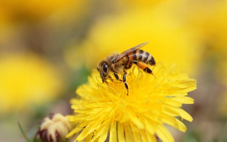 Bee Wallpaper Top 41 Bee Image
