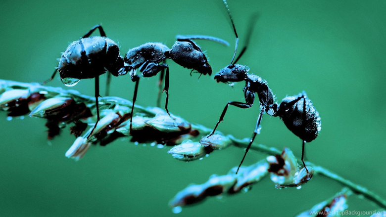 Ant Picture Facts Ant Desktop Wallpapers Desktop Backgrounds