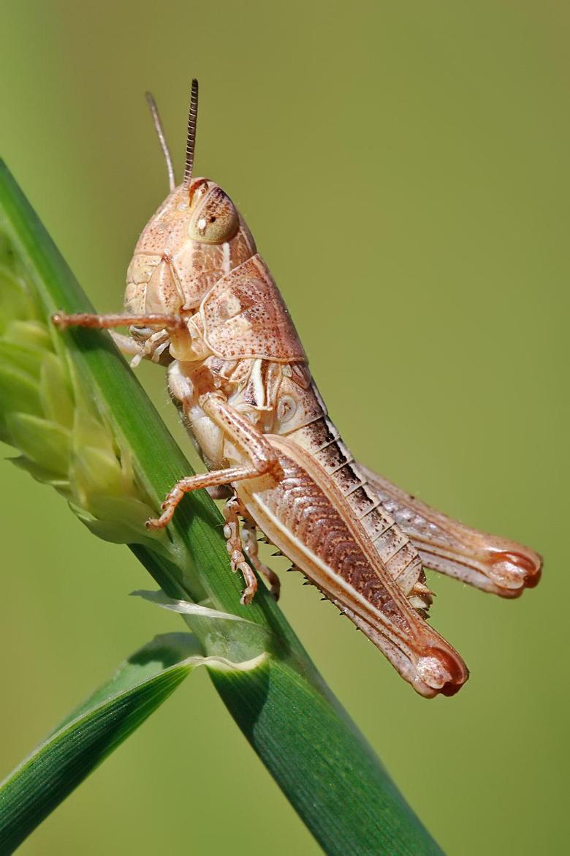 Grasshopper wallpapers Animal HQ Grasshopper pictures