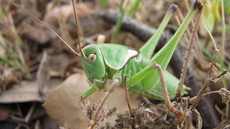Do Crickets Bite Common Symptoms Treatment How to Get