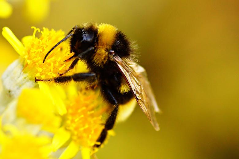 Macro shot photography of bee on yellow flower bumblebee HD