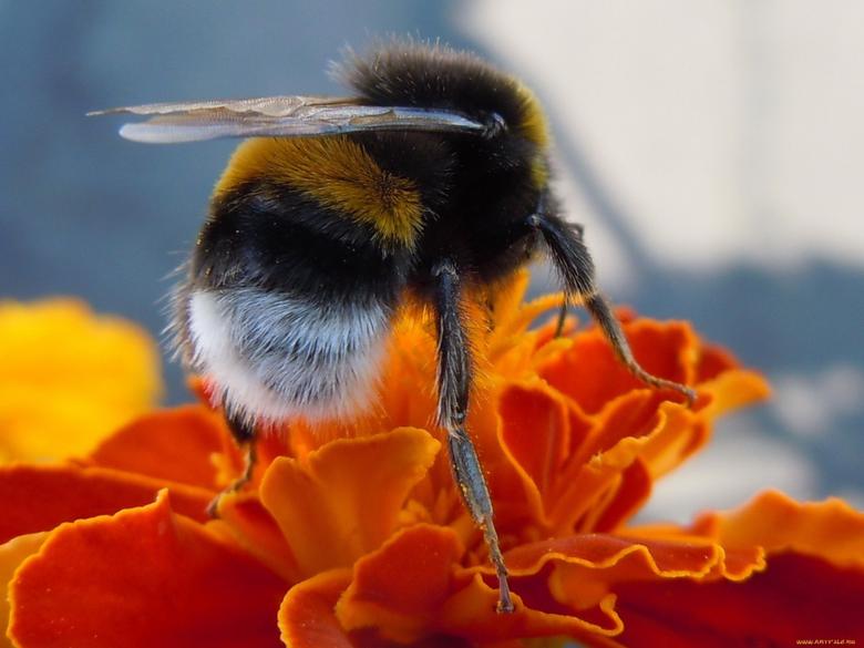 flowers insects macro bumblebee hymenopthera 1920x1440