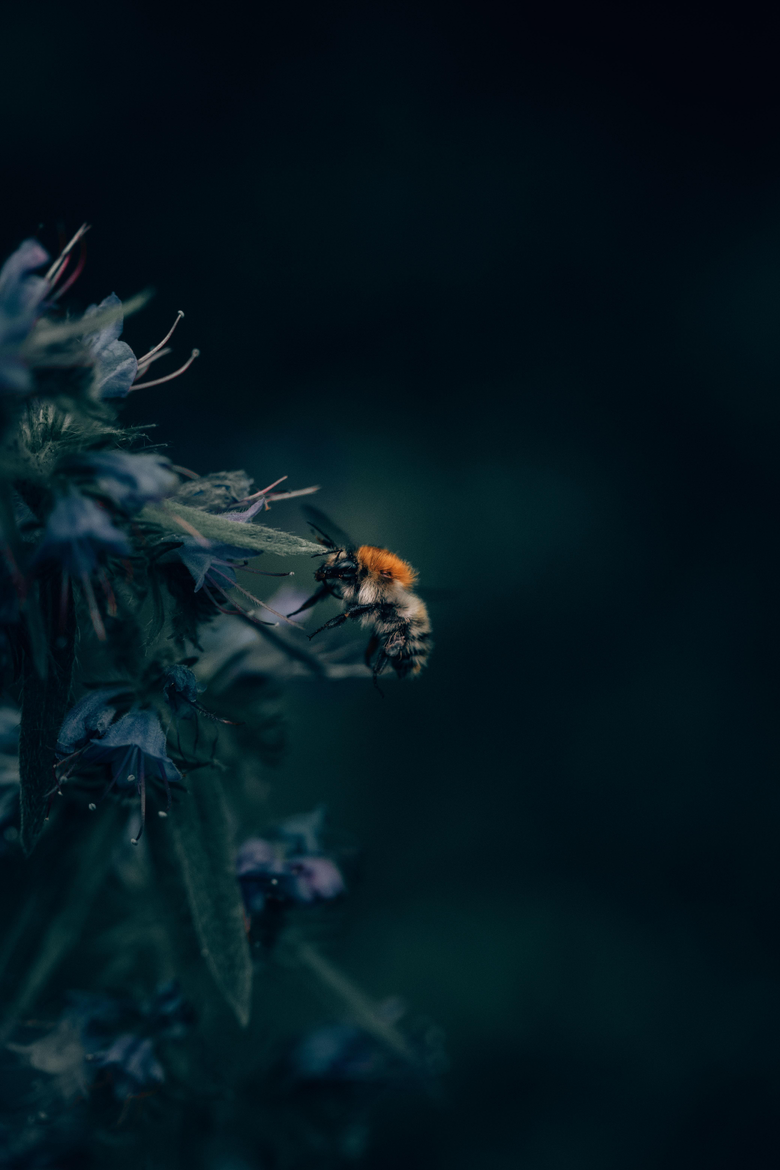 wallpapers 4160x6240 bumblebee insect flower