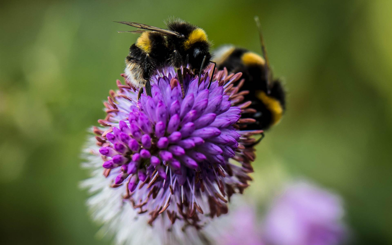 Wallpapers Insect bumblebee flower 1920x1200 HD Picture Image