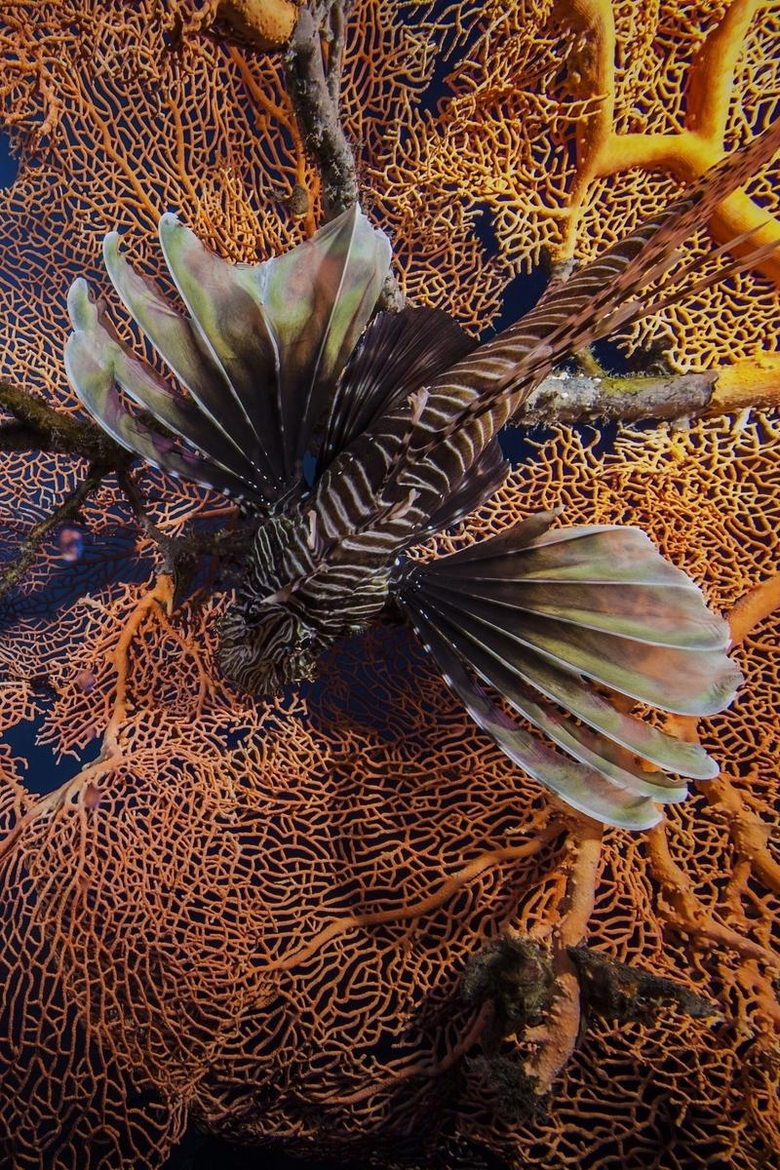 wallpapers 800x1200 lionfish striped lionfish