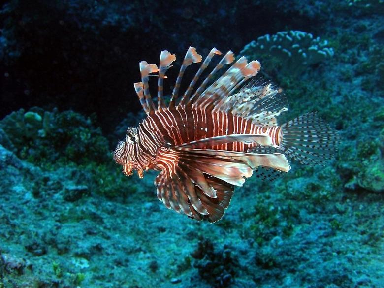 Photo turkey fish Fish Underwater world Animals 1600x1200