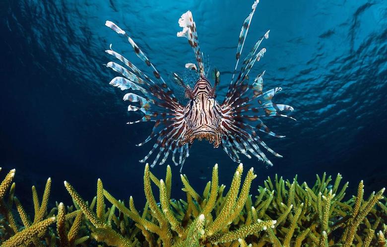 Wallpapers sea the ocean fish lionfish Zebra fish image