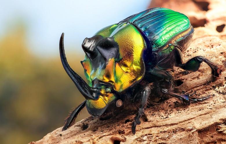 Wallpapers macro beetle insect Rhinoceros beetle image