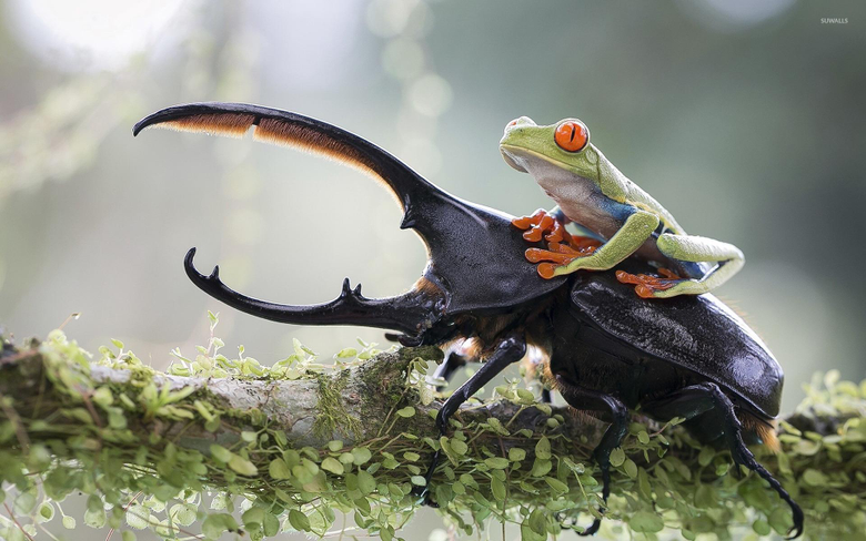 Frog on a beetle wallpapers