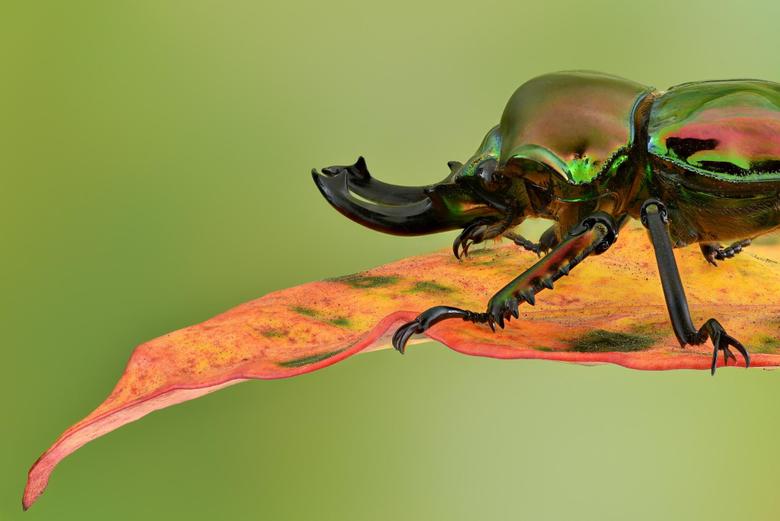 Rainbow Stag Beetle
