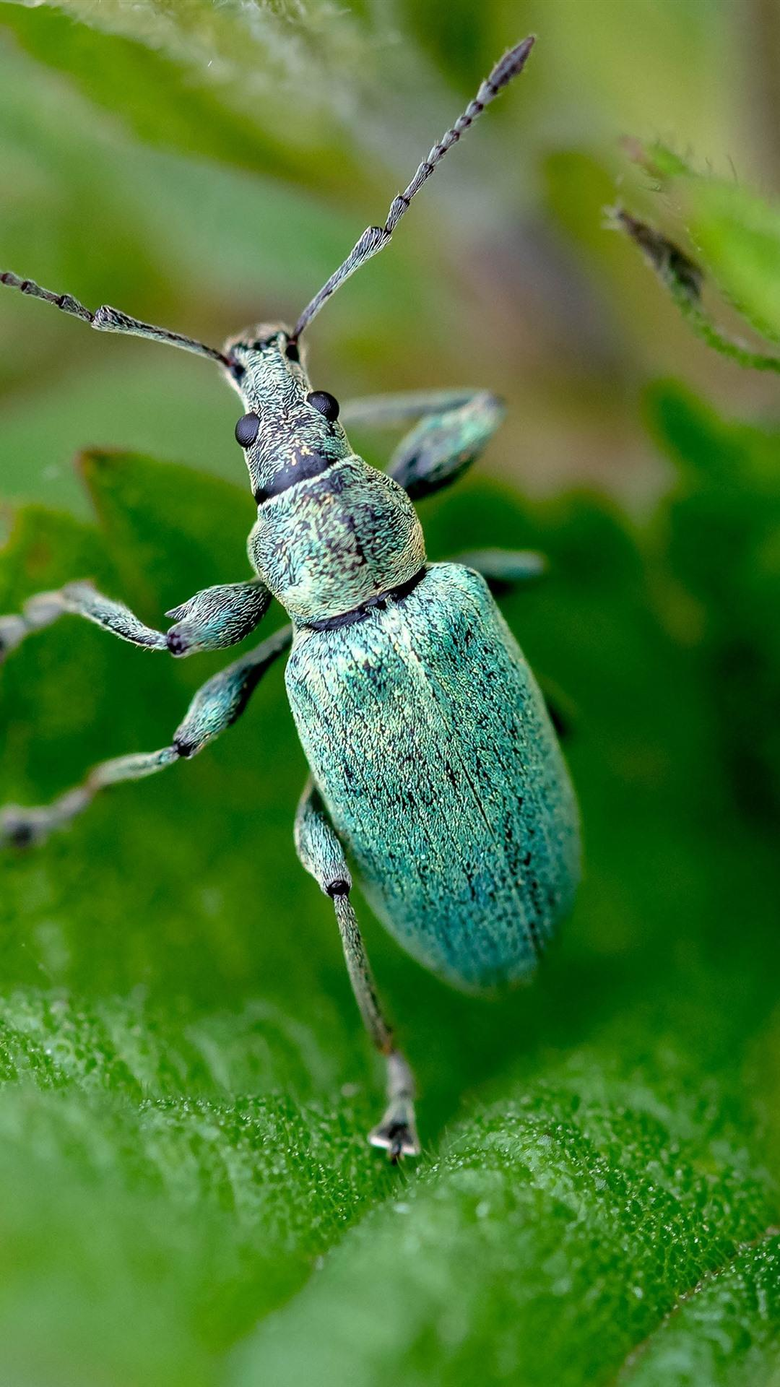 Blue beetle insect green leaves 1080x1920 iPhone 8 7 6 6S