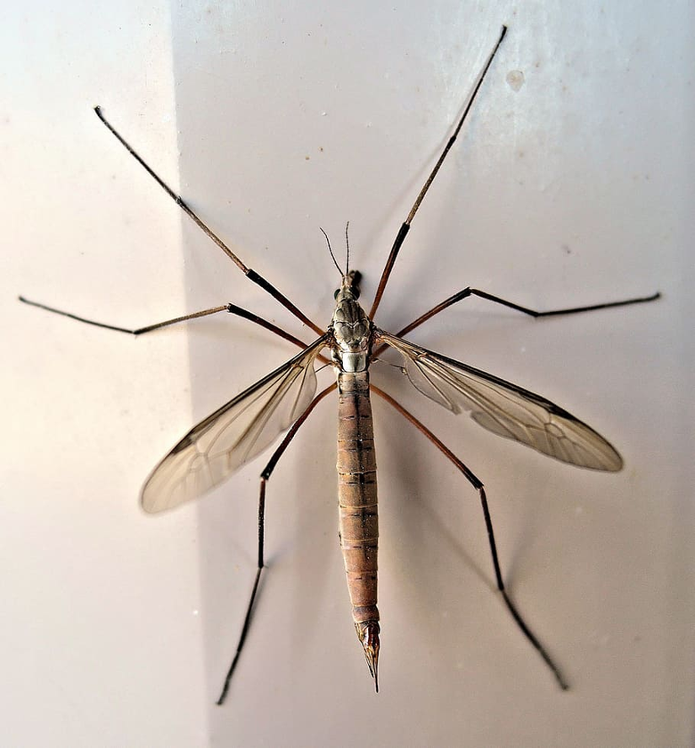 HD wallpaper Crane Fly Insect Late Summer Animal daddy