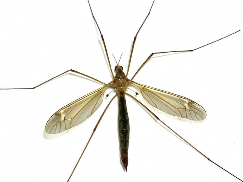 The crane fly or daddy longlegs is a simple insect with some
