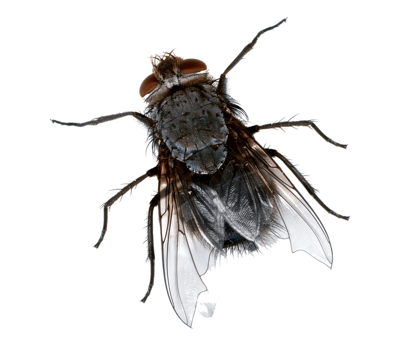 Dead fly png Picture house fly png