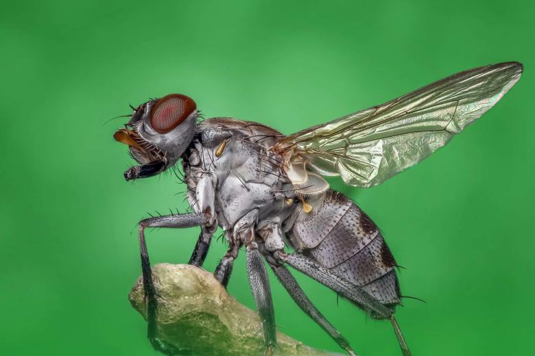body bug eye fly housefly insect macro magnification