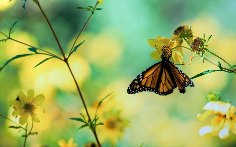 Daily Wallpaper Butterfly Garden