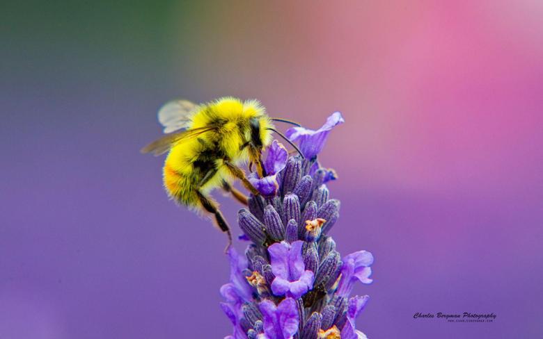 Honey Bee Lavendar Nectar Wallpapers