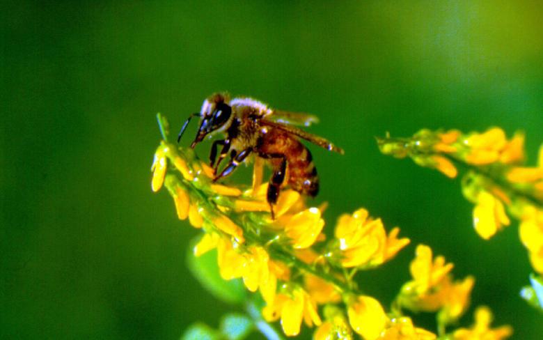 Honey Bee Desktop Wallpapers
