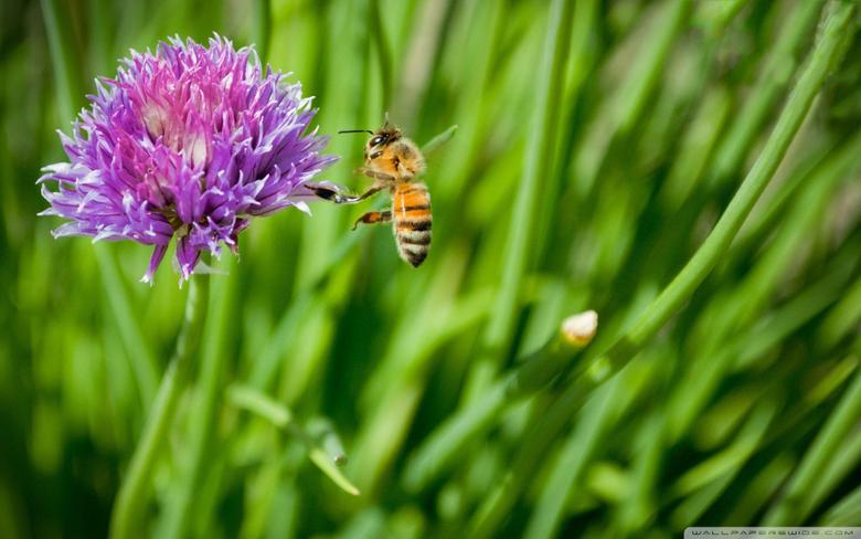 Little Honey Bee HD Desktop Wallpapers for 4K Ultra HD TV Dual