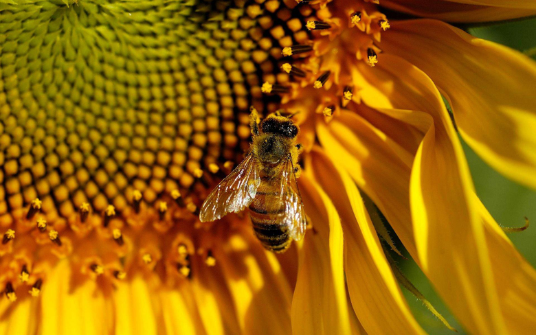 Honey Bee Wallpapers 3289 1920 x 1200