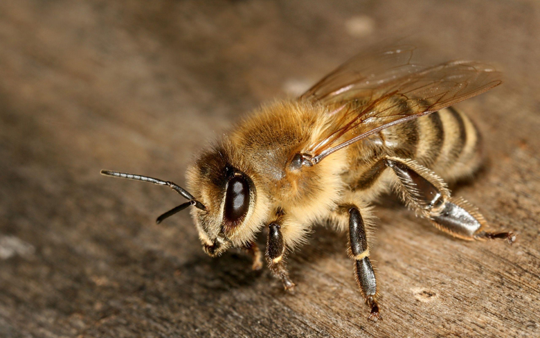 Honey Bee 21000 2560x1600 px HDWallSource